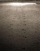 racoon-tracks.jpg